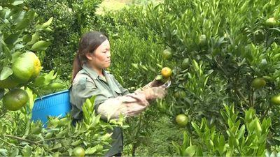 Nông dân vùng cao trồng quýt thu gần 200 triệu mỗi năm