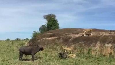CLIP: Trâu rừng liều mạng tấn công sư tử giải cứu đồng loại