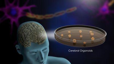 Tranh cãi dữ dội về việc não người nhân tạo cấy ghép với động vật