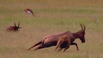 Linh dương Savannah chết thảm vì bị linh cẩu cắn trúng chỗ hiểm
