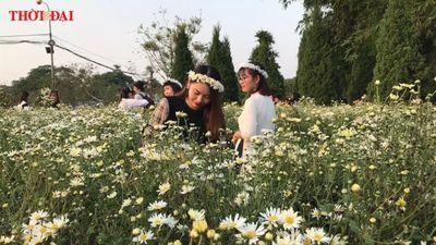 Đổ xô đến những vườn hoa cúc họa mi lớn nhất Hà Nội
