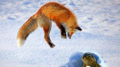 Cách săn mồi trên tuyết của cáo đỏ