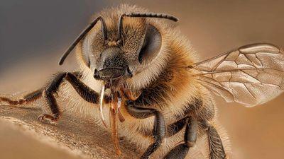 Vì sao ong chết sau khi đốt người?