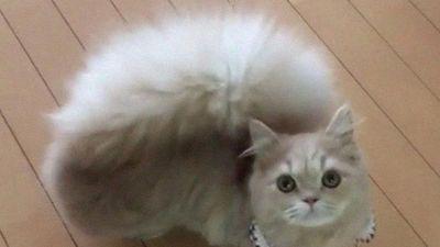 Chú mèo lạ có đuôi xù như đuôi sóc 'hút hồn' bất kỳ ai