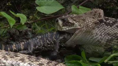 CLIP: Vừa nuốt chửng con non, rắn đuôi chuông liền 'tan xác' dưới hàm răng cá sấu mẹ