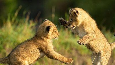 Bí quyết rèn luyện kỹ năng sinh tồn của những loài mèo hoang dã