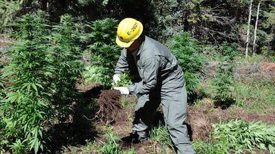 Cảnh sát Tây Ban Nha phát hiện 2 đồn điền cần sa ẩn sâu trong rừng