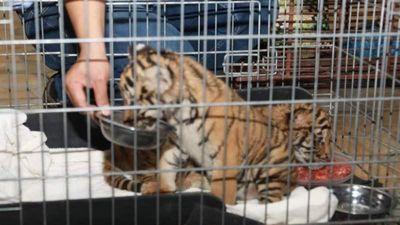 Giải cứu 2 cá thể con hổ quý hiếm ở Hà Tĩnh