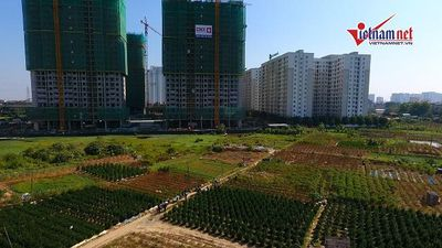 Vụ hàng nghìn gốc đào chết ở Hà Nội: Đền bù cho người dân chưa thỏa đáng?