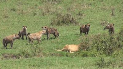 CLIP: Linh cẩu cướp mồi của sư tử và cái kết