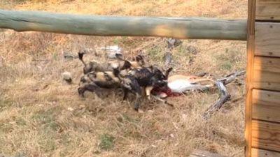 CLIP: Chó hoang đoạt mạng linh dương ngay sau nhà dân