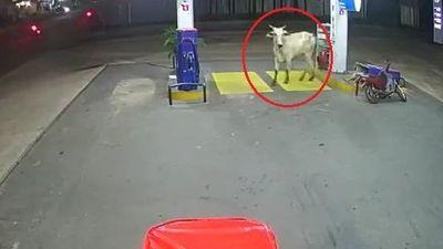 Con bò tấn công hai người đi xe máy, húc đổ cây xăng