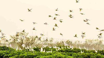 Khu rừng ngập mặn rợp cánh cò bay ở Quảng Ninh
