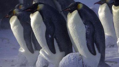 1001 thắc mắc: Vì sao chim cánh cụt 'thích' đẻ trứng vào mùa đông