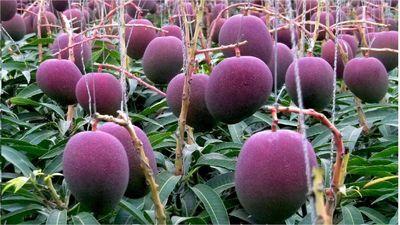 Bí mật của loài xoài tím có giá gần 4.000 USD/cặp của Nhật Bản