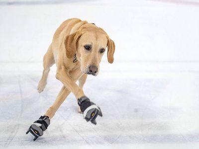 Chú chó Benny gây bất ngờ với khả năng trượt băng 'có một không hai' sau một năm kiên trì luyện tập cùng chủ nhân.