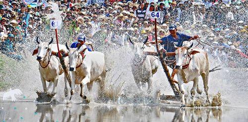 Tưng bừng Lễ hội đua bò Bảy Núi An Giang
