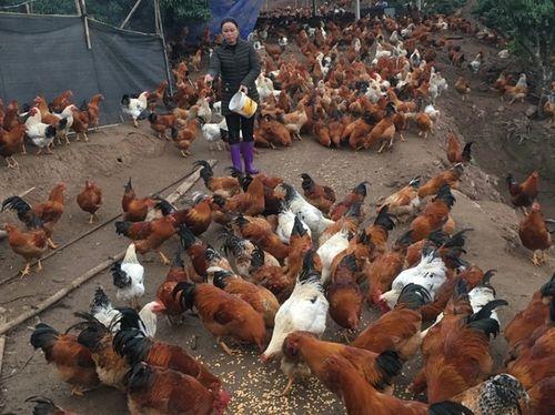 Thích thú với trang trại nuôi 12.000 con gà trống thiến phục vụ thị trường tết