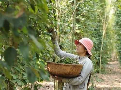 Tiêu hạt rớt giá, nông dân Phú Quốc giảm mạnh diện tích trồng