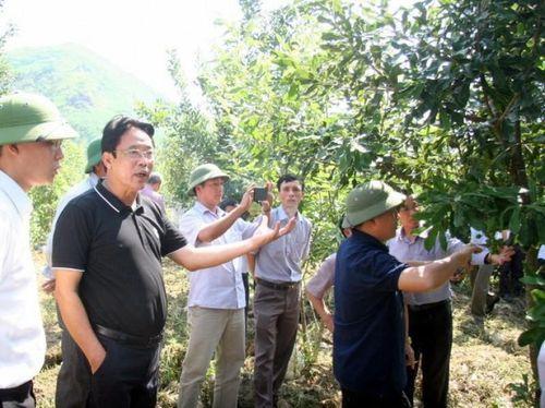 Tin NN Tây Bắc: Lai Châu đưa mắc ca thành cây trồng chủ lực