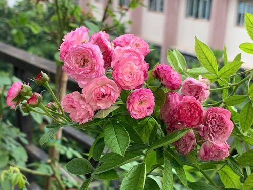 Ban công ít nắng vẫn thơm hương hoa hồng trong ngôi nhà phố của mẹ hai con ở Quận 11, TP HCM