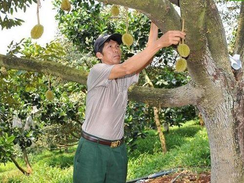 Đắk Nông: Bán khoán vườn sầu riêng cho thương lái, lợi bất cập hại