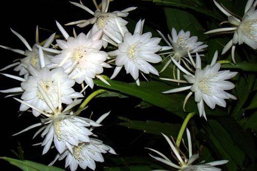 Top 10 loài hoa nở về đêm đẹp nhất trên thế giới