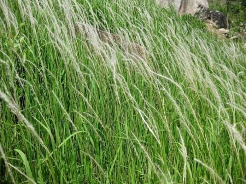 Cỏ tranh: Loài cỏ mọc dại ven đường nhưng vô vàn công dụng chữa bệnh