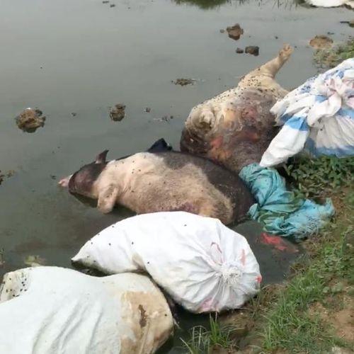 Kinh hãi hàng chục con lợn chết bị vứt la liệt trên cánh đồng