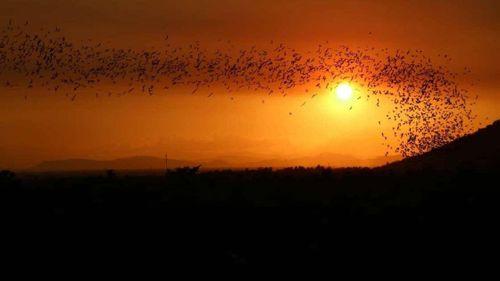 Cảnh tượng tuyệt đẹp khi hàng ngàn con dơi bay kín góc trời hoàng hôn