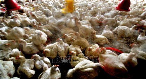 Ngành chăn nuôi gia cầm Ấn Độ mất 182 triệu USD do tin đồn dịch COVID-19
