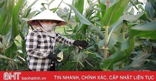 Ngô nếp được mùa, nông dân miền núi Hà Tĩnh phấn khởi!