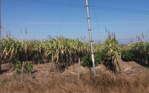 Gia Lai: Cuộc sống thay đổi nhờ cây mía tím