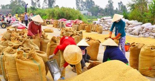 Xuất khẩu gạo có định mức: Doanh nghiệp, nông dân đồng tình