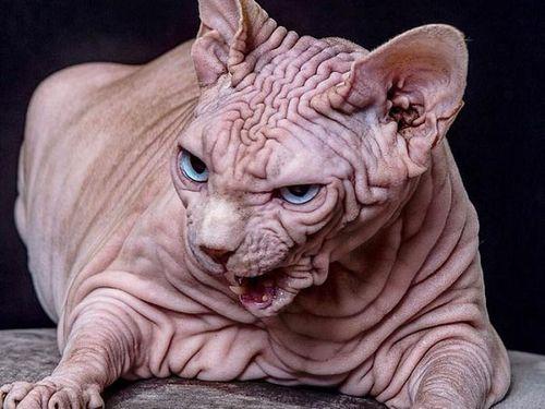 Sự thật phía sau chú mèo có ngoại hình ghê rợn nhất Thế giới