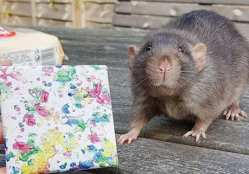 Chú chuột có tài vẽ tranh khiến nhiều người bất ngờ