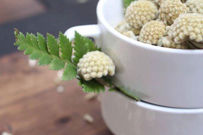 Trà hoa araceae
