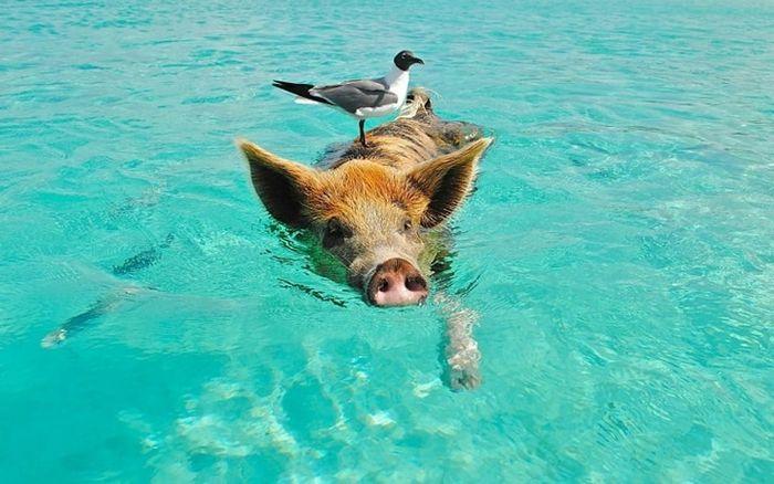 Lợn Thực Ra Rất Sạch Sẽ: Thường Gắn Với Hình Ảnh Lăn Lộn Trong Những Bãi  Bùn Sình, Nhưng Thực Chất Lợn Là Loài Vật Ưa Sạch Sẽ.