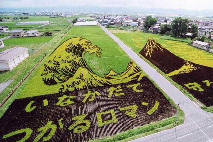 Nghệ thuật trồng lúa đỉnh cao của người Nhật